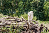 Beautiful arctic wolf standing on a tree — Stok fotoğraf