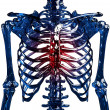 Stock Photo: Skeleton thoracic pain