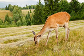 Deer in the meadow — Stock Photo