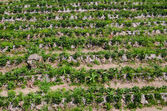 Strawberry farm in Northern of Thailand — Stock Photo