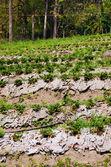 Fattoria fragola nel nord della Thailandia — Foto Stock