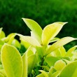 Fresh green leaves in garden — Stock Photo
