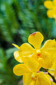 Bright yellow orchids flower in Botanical garden — Stock Photo