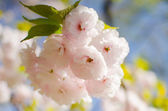 Cherry blossoms flower , Sakura — Stock Photo