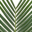 Chrysalidocarpus background — Stock Photo