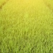 Stock Photo: Rice seedlings