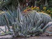 Ein Gedi Cacti thicket October 2010 — Stock Photo