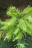 Wolleni Pine (Wollemia nobilis ) rare plant of Italy — Stock Photo