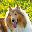 Stock Photo: Collie dog
