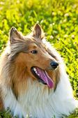 Cane collie americano truebred — Foto Stock