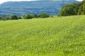 Tall wheatgrass, energy grass — Stock Photo