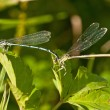 Azure Damselfly,Coenagrion puella during reproduction — Stock Photo