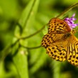 Silver-washed fritillary,Argynnis paphia — Stock Photo