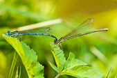 Azure Damselfly,Coenagrion puella during reproduction — Stok fotoğraf