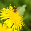 Bee on dandelion — Wideo stockowe