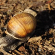 Stock Video: Edible snail