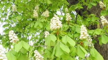 Chestnut blossom — Stock Video