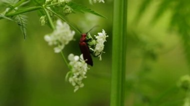 Cantharis beetle — Stock Video