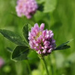 red clover — Stock Video