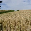 Stock Video: Wheat field