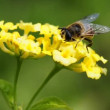 Hover- fly on lantana — Stock Video