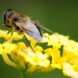 Hover- fly on lantana — Stok video