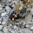 Burying beetle — Stock Video