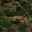 Agile frog — Stockvideo
