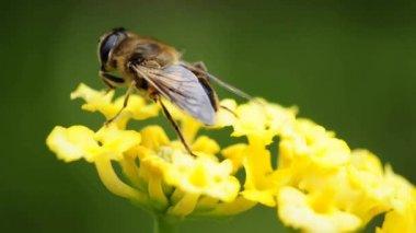 Hover-mosca en lantana — Vídeo de Stock