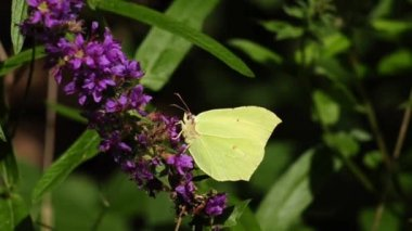Brimstone Butterfly, Gonepteryx rhamni — Stock Video