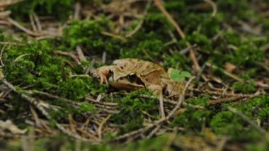 Agile frog — Stock Video