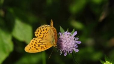 Silver-washed fritillary — Stock Video