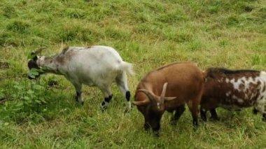 Kozy na pastvinách — Stock video