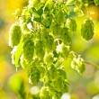 Hop with colorful, blurred background - Stock Photo