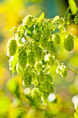 Hop with colorful, blurred background — Stock Photo