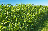 Sudan grass, Sorghum sudanense energy plant for gas — Stock Photo