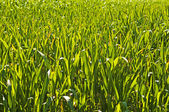 Sudan grass, Sorghum sudanense energy plant for gas — Stock Photo