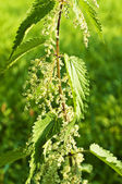 Stinging-nettle with seeds — Stock Photo