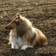 Collie dog — Stock Video