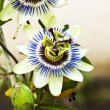 Passion flower — Stock Photo #13545143