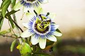 Tutku çiçekflor de la pasión — Stockfoto