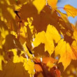 Maple leaves in autumn — Stock Video