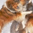 Royalty-Free Stock Photo: Collie dogs in snow