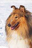 Collie pies w śniegu — Zdjęcie stockowe