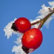 Rose hip with ice crystals — Stock Photo