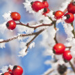 Rose hip with ice crystals — Stock Photo #16496611