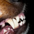 Dog teeth — Stock Photo #16629033