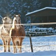 Horses in snow — Stock Photo