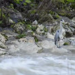 Grey heron at a creek with snow melt — Stock Video