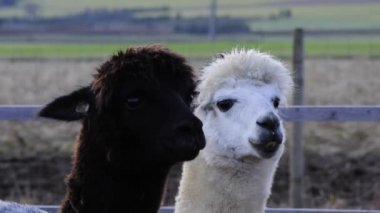 Alpacas, black and white male animals — Stock Video